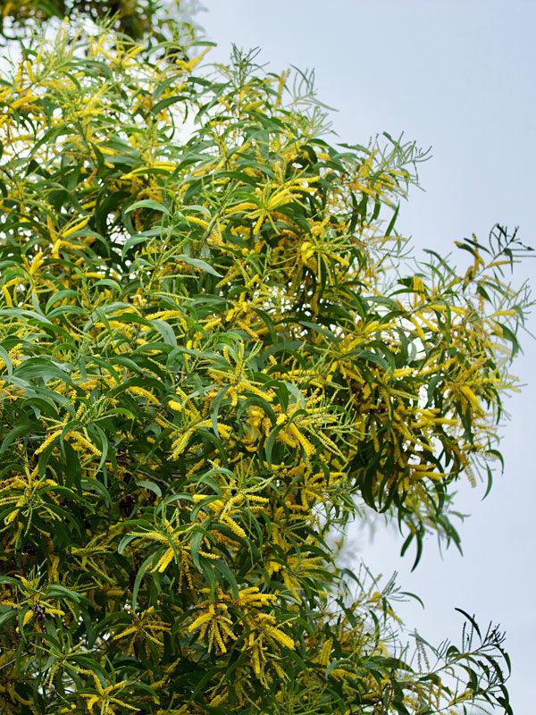 Flowering Ear Leaf Acacia Tree Acacia Auriculiformis