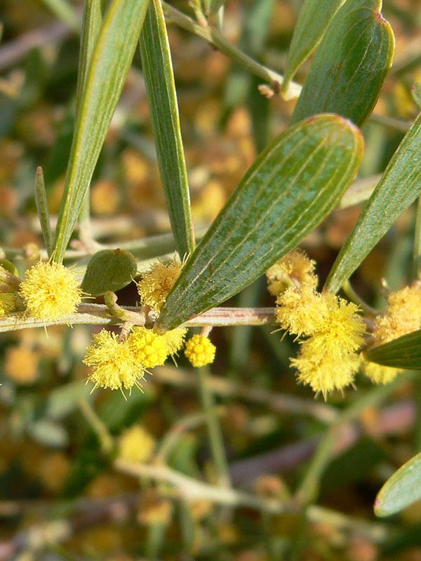 Low Desert Shag Shrub Acacia Redolens Urban Perennials