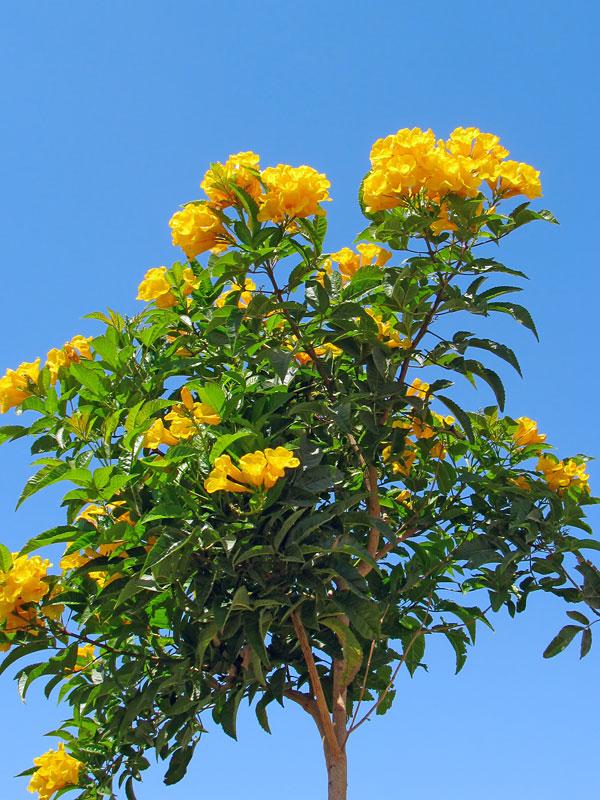 Allamanda Yellow Trumpet Bush Urban Perennials