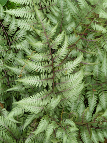 4 Plant Cold Hardy Fern Mix Zone 7b 10 Urban Perennials
