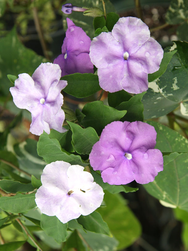 Yesterday Today And Tomorrow Bush Brunfelsia Floribunda