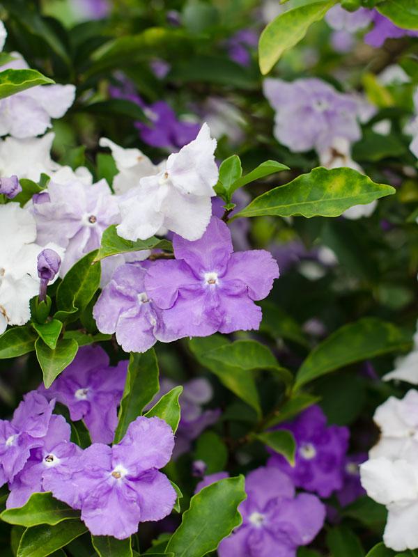 Yesterday Today And Tomorrow Bush Brunfelsia Floribunda