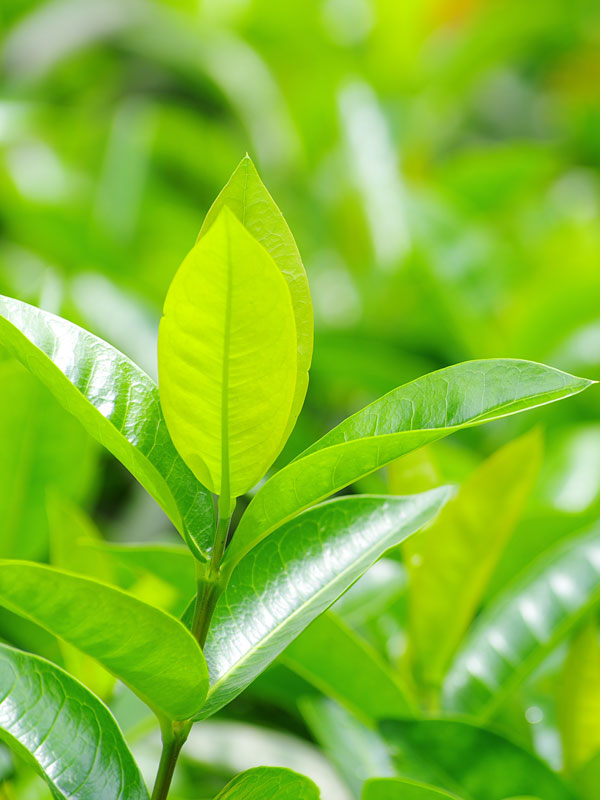 2 Green Tea Bush High Yield Plants Camellia Sinensis