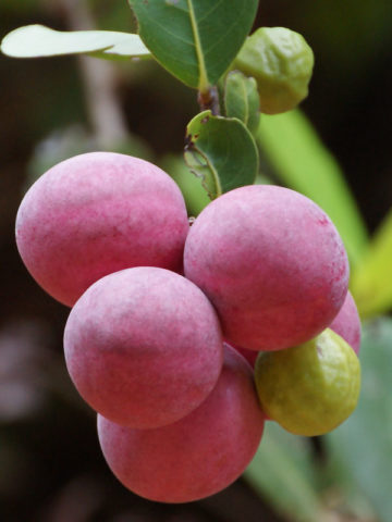 Red Tip Paradise Cocoplum Plant Chrysobalanus Icaco