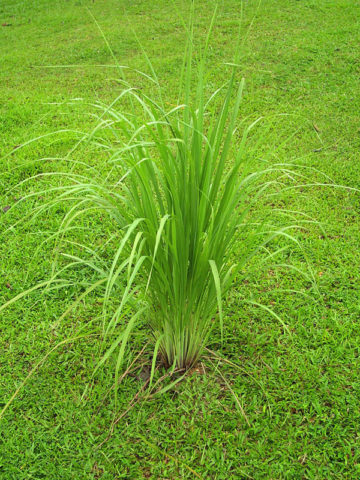 2 east asian lemon grass herb plants cymbopogon flexuosus urban perennials. Black Bedroom Furniture Sets. Home Design Ideas