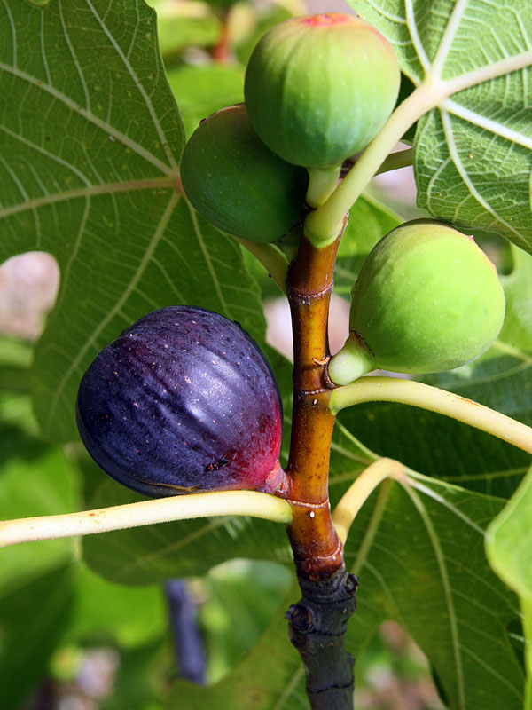 Texas Blue Giant Fig Tree Ficus Carica Urban Perennials