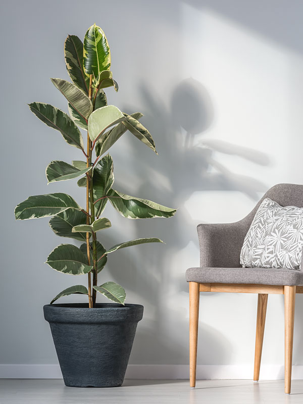 Tineke Rubber Tree Ficus Elastica Urban Perennials