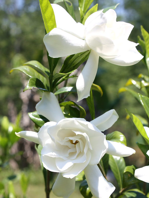 Picture of Live Everblooming Gardenia aka Gardenia jas. 'Veitchii' Plant Fit 1 Gallon Pot