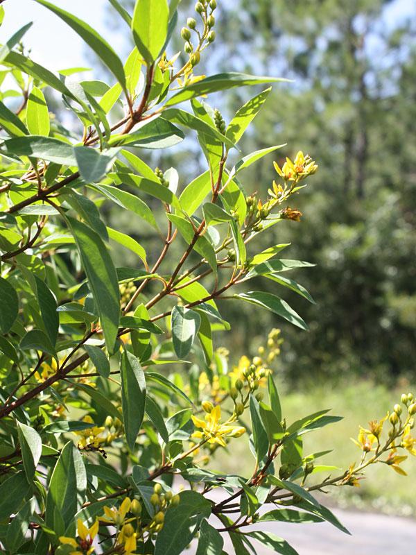 Golden Thryallis Bush Galphimia Glauca Urban Perennials