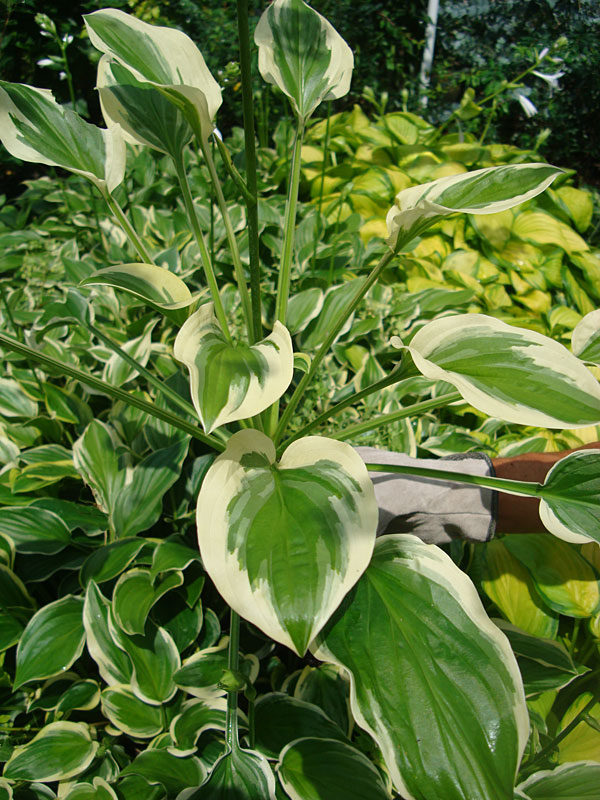 Hosta So Sweet Plant Urban Perennials