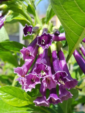 Indigo Mini Angel Trumpet Plant Iochroma Cyanea Urban Perennials