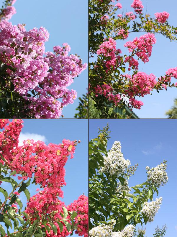 4 Plant Crape Myrtle Bush Mix Lagerstroemia Indica