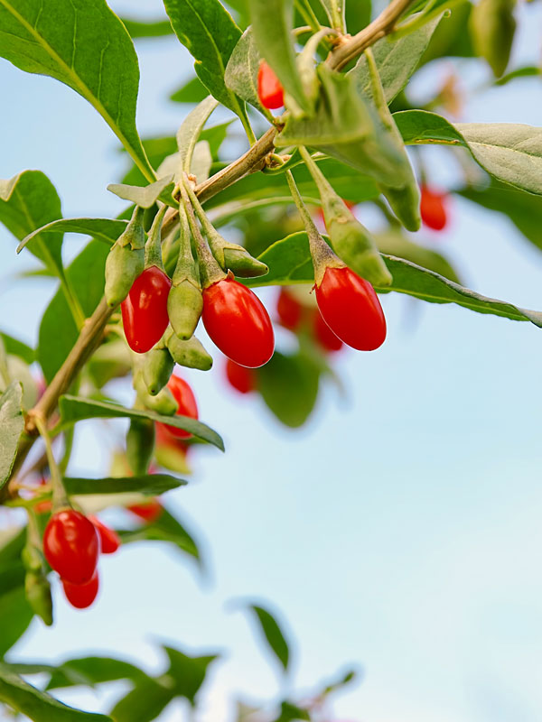 Goji Berry Bush Lycium Barbarum Urban Perennials