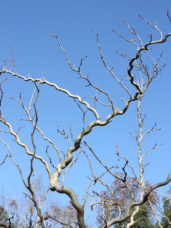 Contorted Mulberry Tree Morus Nigra Urban Perennials