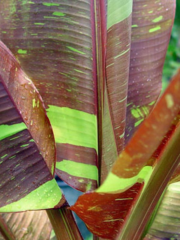 siam ruby banana tree  musa sp   u2013 urban perennials