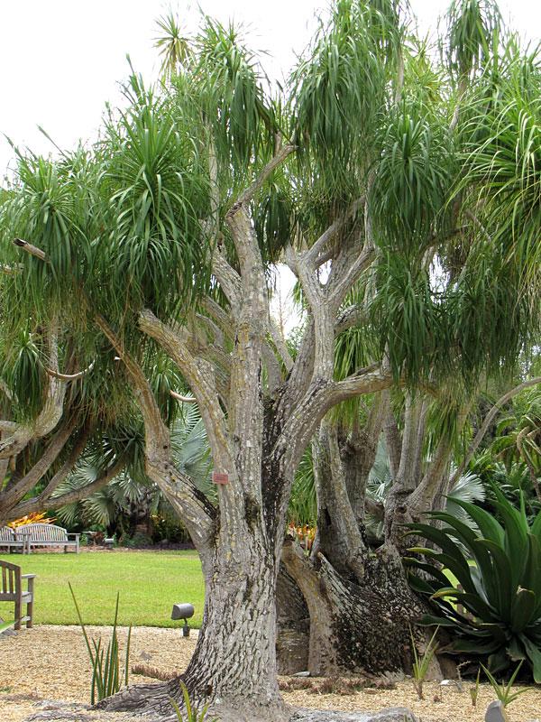 Lg Ponytail Palm Tree Beaucarnea Recurvata Urban