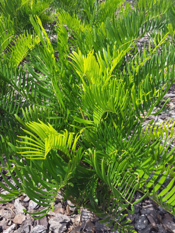 Coontie Palm Cycad Zamia Pumila Urban Perennials