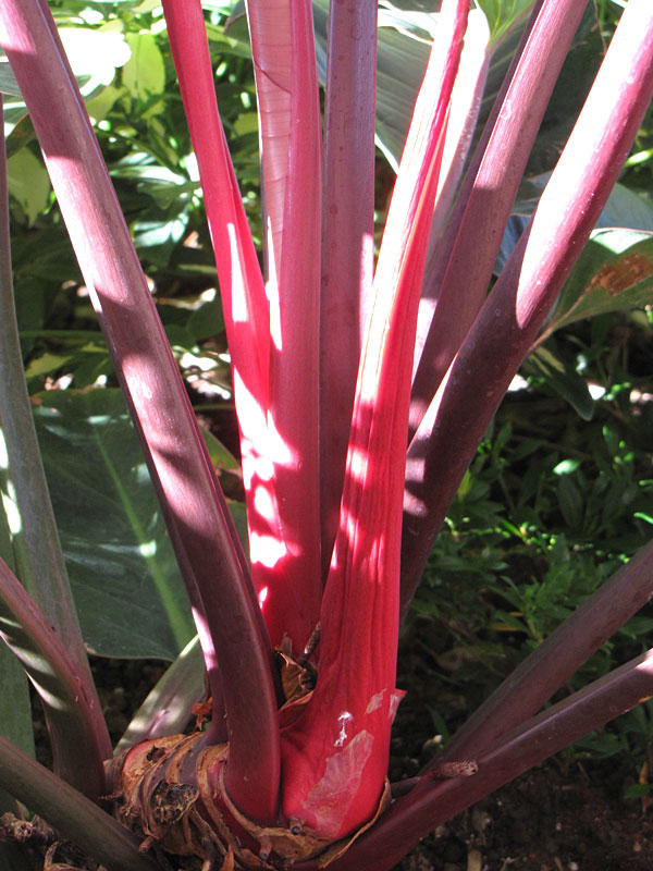 Rare Philodendron Rojo Aroid Tropical Houseplant Well Rooted Full Plant Gift