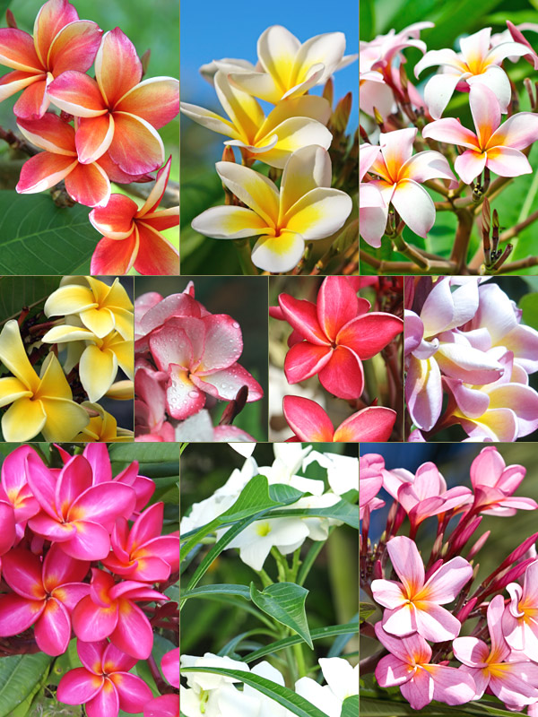 2 Plumeria Random Color Plants Urban Perennials