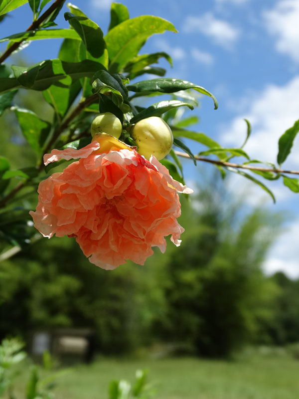 Toyosho Pomegranate Tree Punica Granatum Urban Perennials