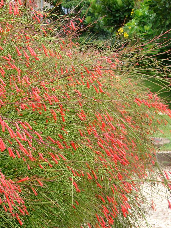 Coral Fountain Bush Russelia Equisetiformis Urban