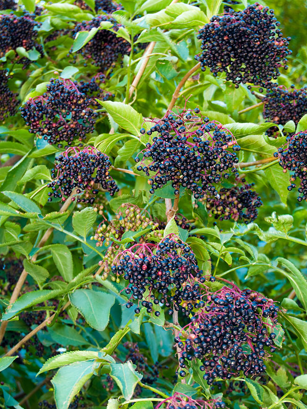 American Black Elderberry Bushe Sambucus Canadensis