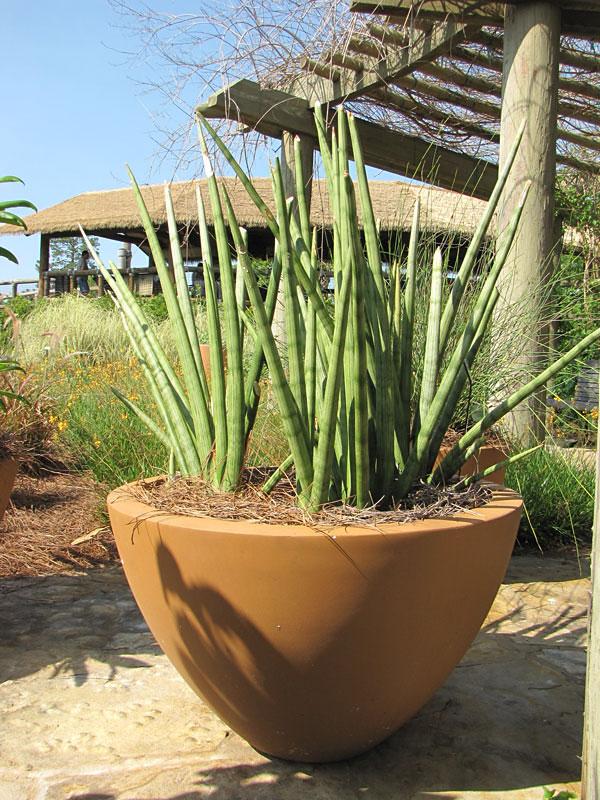 Sansevieria Cylindrica Snake Plant Urban Perennials