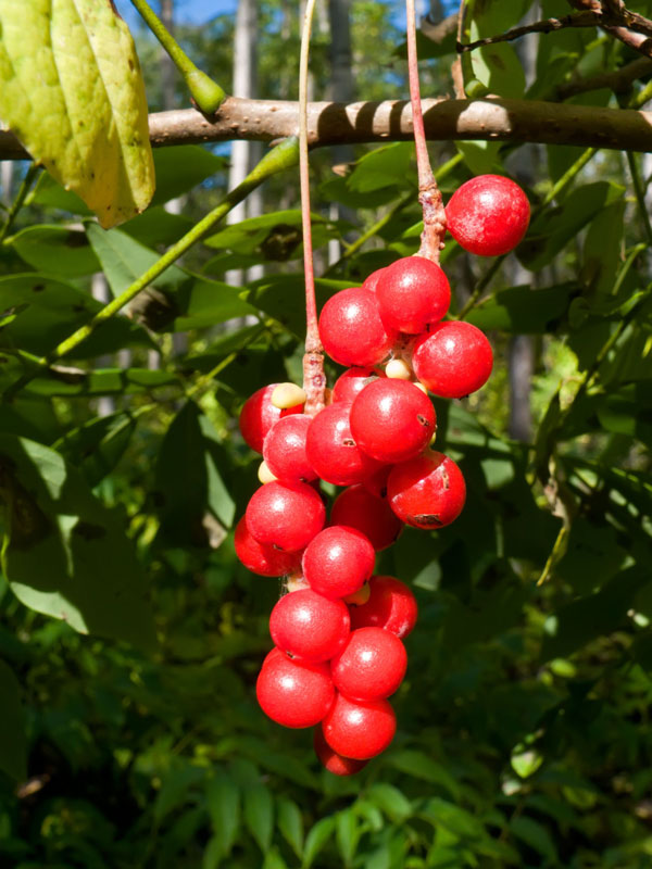 Five Flavor Berry Bush Schisandra Chinensis Urban