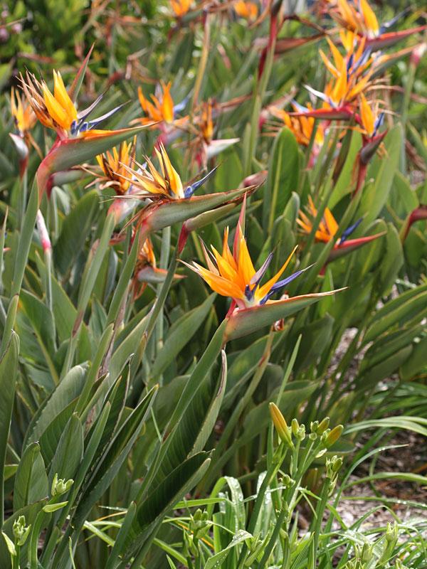 Tahitian Orange Bird of Paradise Plant (strelitzia reginae ...