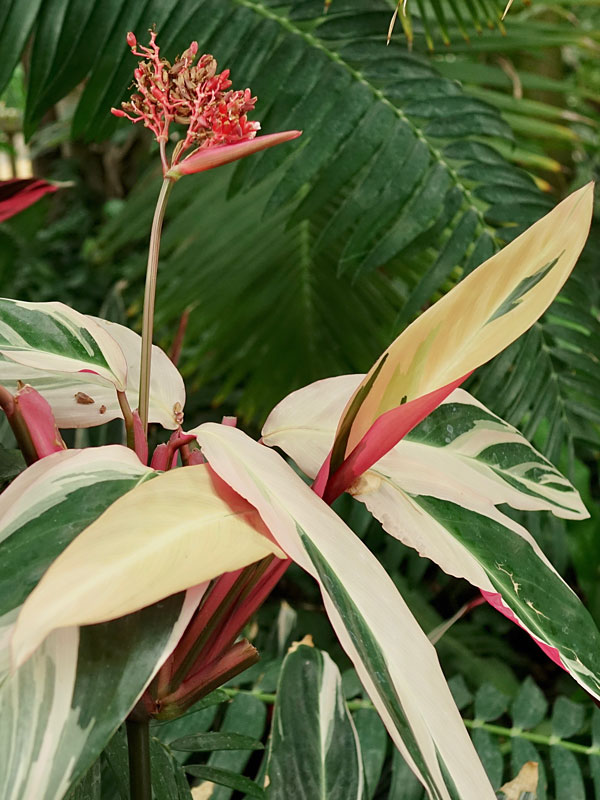 Tricolor Ginger Plant Stromanthe Sanguinea Urban