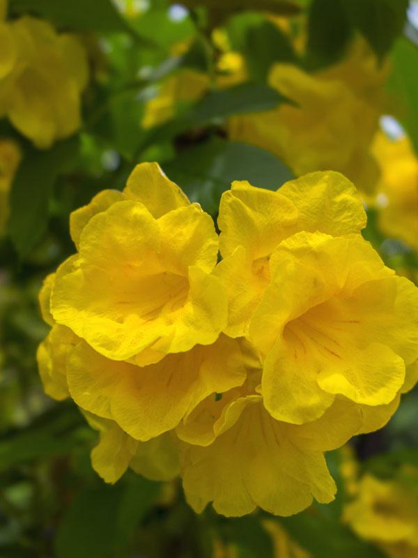Texas Yellow Bell Bush Tecoma Stans Urban Perennials